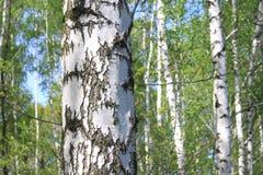 Paisaje hermoso con los abedules verdes jugosos jovenes con las hojas del verde y con los troncos blancos y negros del abedul en  Fotografía de archivo libre de regalías
