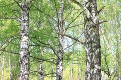 Paisaje hermoso con los abedules verdes jugosos jovenes con las hojas del verde y con los troncos blancos y negros del abedul en  Imagen de archivo