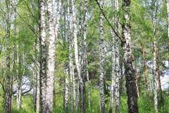 Paisaje hermoso con los abedules verdes jugosos jovenes con las hojas del verde y con los troncos blancos y negros del abedul en  Imagen de archivo libre de regalías