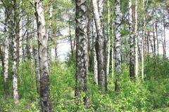 Paisaje hermoso con los abedules verdes jugosos jovenes con las hojas del verde y con los troncos blancos y negros del abedul en  Fotos de archivo libres de regalías