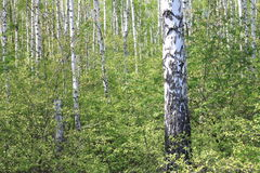Paisaje hermoso con los abedules verdes jugosos jovenes con las hojas del verde y con los troncos blancos y negros del abedul en  Imágenes de archivo libres de regalías