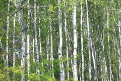 Paisaje hermoso con los abedules verdes jugosos jovenes con las hojas del verde y con los troncos blancos y negros del abedul en  Foto de archivo libre de regalías