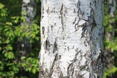 Paisaje hermoso con los abedules verdes jugosos jovenes con las hojas del verde y con los troncos blancos y negros del abedul en  Foto de archivo