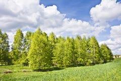 Paisaje hermoso con los abedules y las nubes blancas en el cielo azul Imagenes de archivo