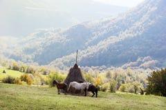 Paisaje hermoso de la montaña del otoño con tres caballos Foto de archivo