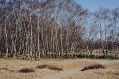 Paisaje hermoso de la primavera con los árboles de abedul que se colocan debajo del cielo azul en el borde de un campo Reserva de Foto de archivo