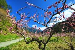Paisaje hermoso de los árboles de melocotón rosados Foto de archivo libre de regalías