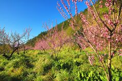 Paisaje hermoso de los árboles de melocotón rosados Imagen de archivo libre de regalías