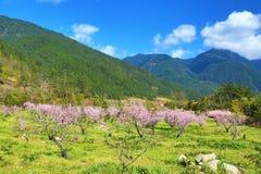 Paisaje hermoso de los árboles de melocotón rosados Fotografía de archivo libre de regalías
