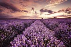 Paisaje hermoso de los campos de la lavanda en la puesta del sol Foto de archivo libre de regalías