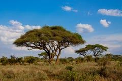 Paisaje hermoso de los tortilis del acacia del acacia de la espina del paraguas de África fotos de archivo libres de regalías