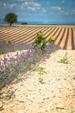 Paisaje hermoso del campo floreciente de la lavanda, uphil solo del árbol Fotos de archivo