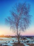 Paisaje hermoso del campo del invierno con el árbol de abedul solo Foto de archivo libre de regalías
