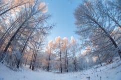 Paisaje hermoso del invierno, bosque nevoso en un día soleado, distorsión del ojo de pescados, árboles nevosos altos con un cielo fotografía de archivo libre de regalías