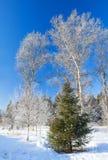 Paisaje hermoso del invierno con un árbol del Año Nuevo en el bosque Fotografía de archivo libre de regalías