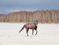 Paisaje hermoso del invierno con un caballo marrón en un campo nevado Fotos de archivo