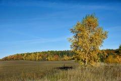Paisaje hermoso del otoño coloreado en bosque del abedul amarillo Imagenes de archivo