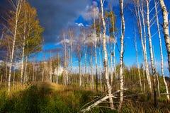 Paisaje hermoso del otoño en bosque del abedul Imágenes de archivo libres de regalías