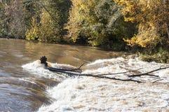 Paisaje hermoso del otoño en Letonia con el primer de los rápidos del río en luz del sol y de los árboles coloridos en fondo Imagen de archivo libre de regalías