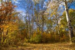 Paisaje hermoso del otoño - vista del bosque del abedul Fotografía de archivo