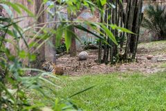 Paisaje hermoso del tigre que descansa sobre el c?sped fotos de archivo libres de regalías