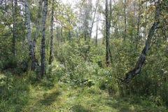 Paisaje hermoso del verano con el bosque del abedul y la hierba verde Foto de archivo