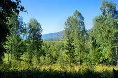 Paisaje hermoso del verano con los árboles de abedul siberia Fotos de archivo libres de regalías