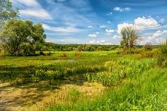 Paisaje hermoso del verano de la naturaleza con los iris amarillos florecientes en un día soleado con un cielo hermoso Imagenes de archivo