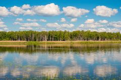 Paisaje hermoso del verano de Rusia - árboles de abedul en la orilla Fotos de archivo