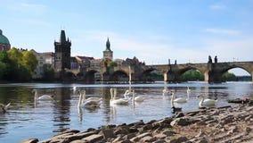 Paisaje hermoso mágico con los cisnes blancos en Moldava cerca de Charles Bridge en la ciudad vieja de Praga, República Checa almacen de metraje de vídeo