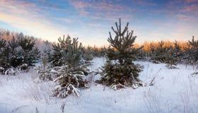 Paisaje hivernal con los pinos Foto de archivo libre de regalías