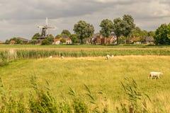 Paisaje holandés con el molino de viento y la multitud de ovejas Fotos de archivo libres de regalías