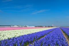Paisaje holandés con los bulbos de flor Fotografía de archivo