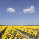 Paisaje holandés con los tulipanes amarillos en campo de flor más el cielo azul Imagen de archivo