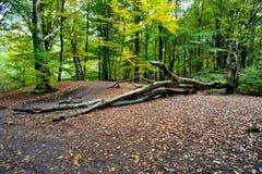 Paisaje holandés del bosque del otoño con los árboles caidos Foto de archivo libre de regalías