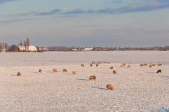 Paisaje holandés del invierno con nieve y ovejas Foto de archivo