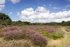Paisaje holandés típico con el brezo Erica, los árboles, la calzada y las nubes fotografía de archivo
