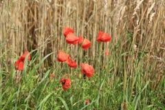 Paisaje idílico, amapola roja, Alemania Fotos de archivo