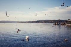 Paisaje idílico con los pájaros de agua en el lago en Rapperswil Suiza fotografía de archivo