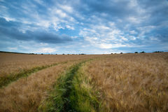 Paisaje imponente del campo de trigo debajo del cielo tempestuoso de la puesta del sol del verano fotografía de archivo libre de regalías