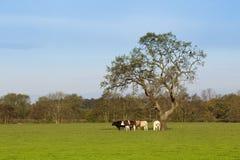 Paisaje inglés con el pasto de ganado Imágenes de archivo libres de regalías
