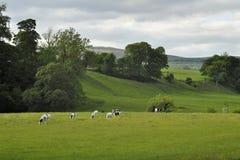 Paisaje inglés del campo: colinas, rastro, vacas Foto de archivo libre de regalías