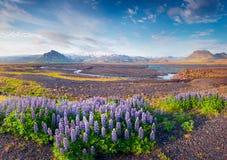 Paisaje islandés típico con el campo de la flor floreciente del lupine Fotos de archivo