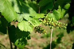Paisaje joven de las uvas Imagen de archivo libre de regalías