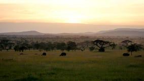 Paisaje llano africano en la puesta del sol con los árboles y el pasto del acacia del búfalo salvaje almacen de metraje de vídeo