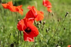 Paisaje maravilloso, opinión majestuosa sobre el campo floreciente de la amapola en un día de verano El campo enorme de flores ro Fotografía de archivo libre de regalías