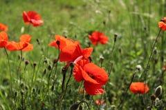 Paisaje maravilloso, opinión majestuosa sobre el campo floreciente de la amapola en un día de verano El campo enorme de flores ro Fotos de archivo libres de regalías