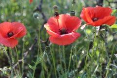 Paisaje maravilloso, opinión majestuosa sobre el campo floreciente de la amapola en un día de verano El campo enorme de flores ro Foto de archivo libre de regalías