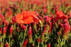 Paisaje maravilloso, opinión majestuosa sobre los cloveris italianos y campo floreciente de la amapola en un día de verano El cam Fotografía de archivo