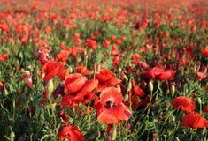 Paisaje maravilloso, opinión majestuosa sobre los cloveris italianos y campo floreciente de la amapola en un día de verano El cam Imagen de archivo